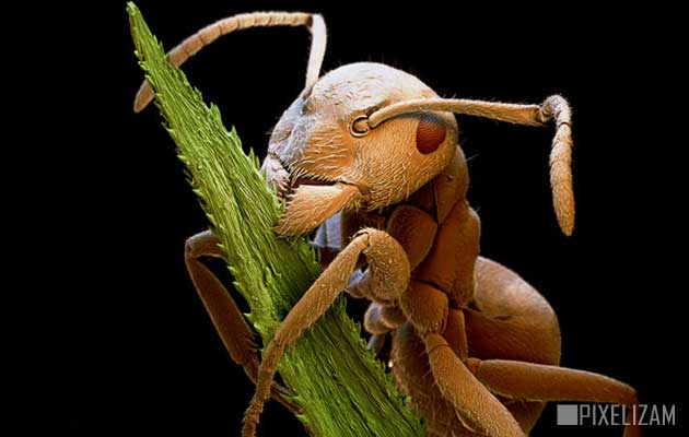 Smeđi Mrav