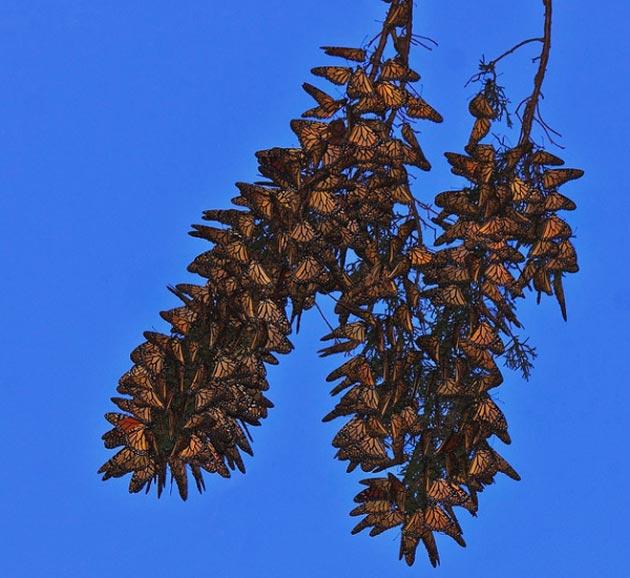 monarh leptir