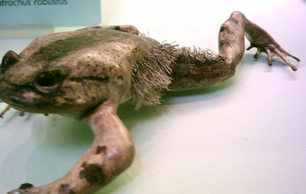 dlakava žaba