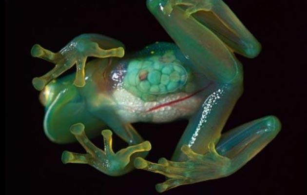 providne žabe