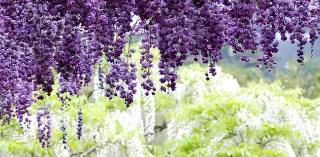 Ashikaga cvjetni park