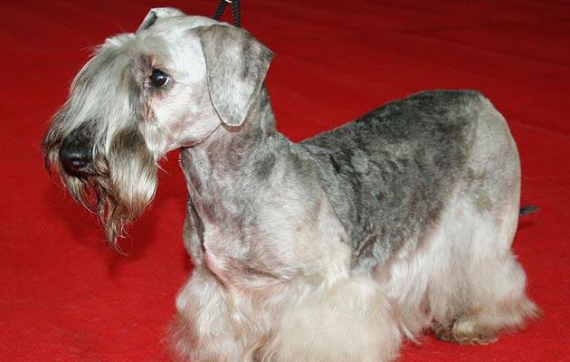 Na svijetu postoji samo oko 350 Česky terijera - i vjerovatno su i najrjeđa pasmina