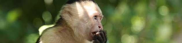 majmun