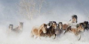 mongolski divlji konji