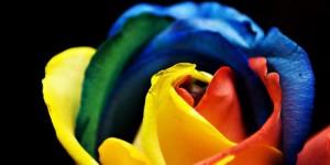 ruže duginih boja