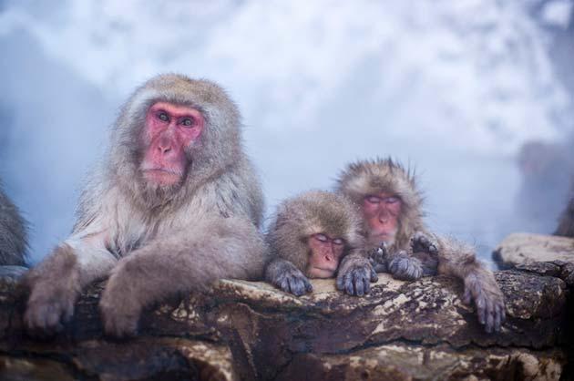 snjezni-majmuni4