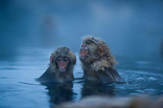 snjezni-majmuni7