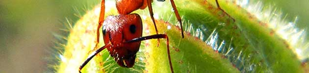 zombi-mrav