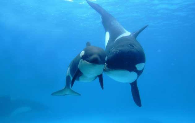 """Naučnici su otkrili da svaka skupina kitova ima svoj """"jezik"""" koji razumiju samo pojedinci u toj skupini."""