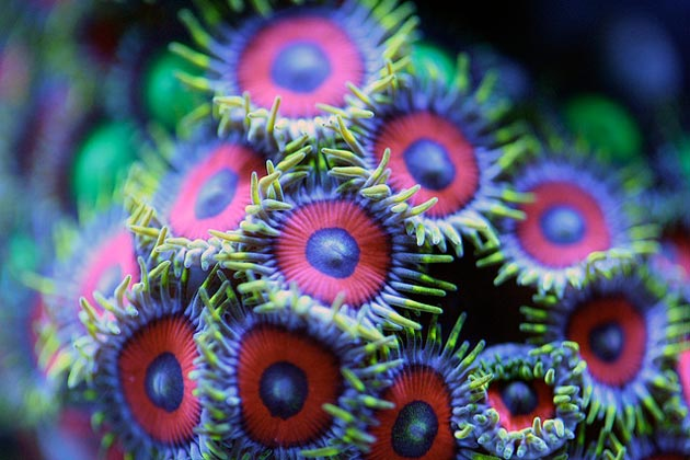 koralji2