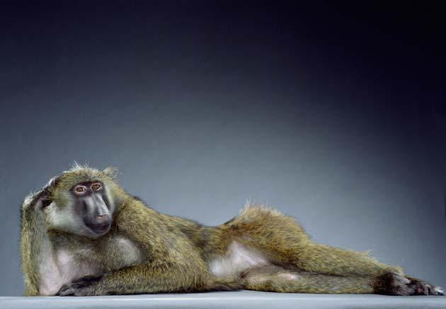 majmun11