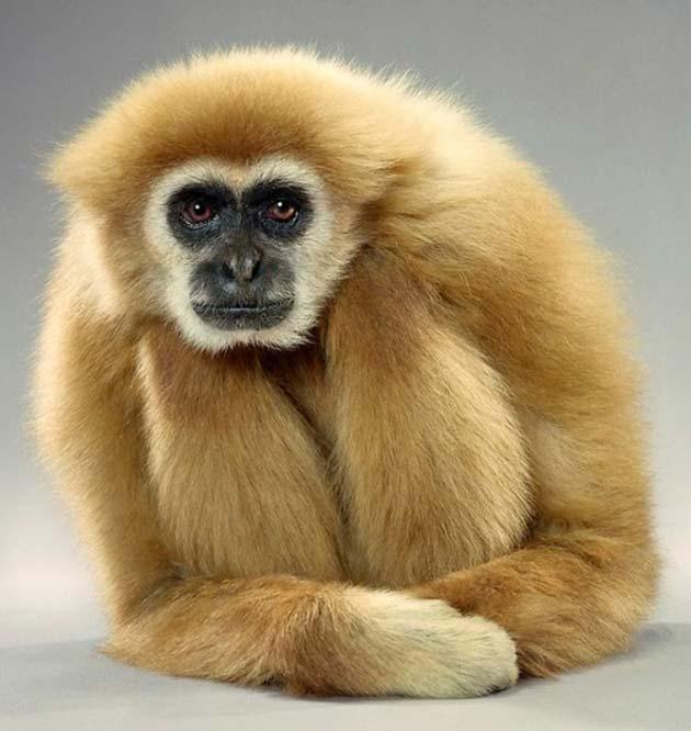 majmun6