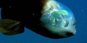 riba-sa-prozirnom-glavom