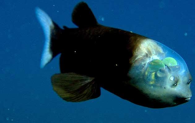 riba-sa-prozirnom-glavom1