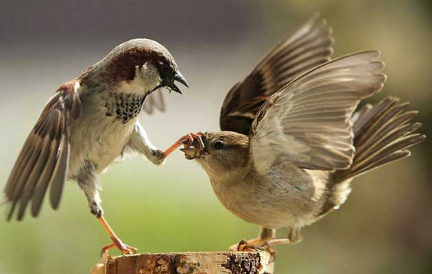 """Ptice koje slušaju pjevanje drugih ptica mogu doživjeti neke od istih emocija kao i ljudi koji slušaju muziku, , prema studiji objavljenoj u """"Frontiers of Evolutionary Neuroscience"""""""