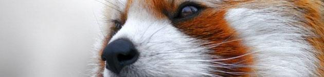 crvena-panda-1