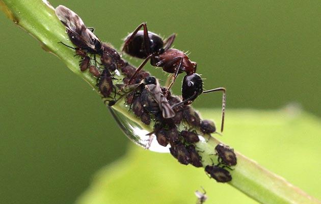 mravi-farmeri