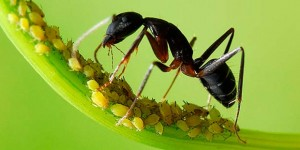 mravi-farmeri0