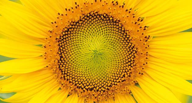 Suncokret – prirodno matematičko čudo Suncokret2