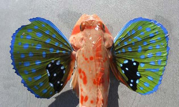 Chelidonichthys-cuculus-1