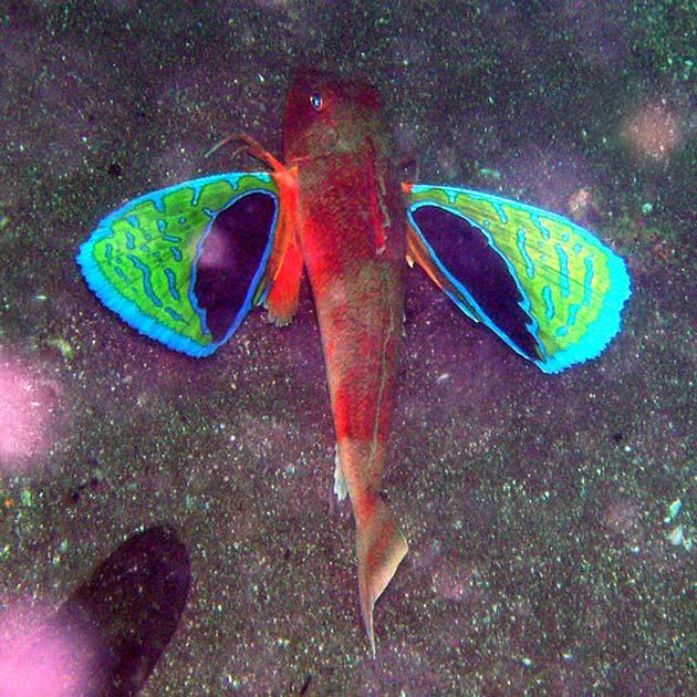 Chelidonichthys-cuculus-4