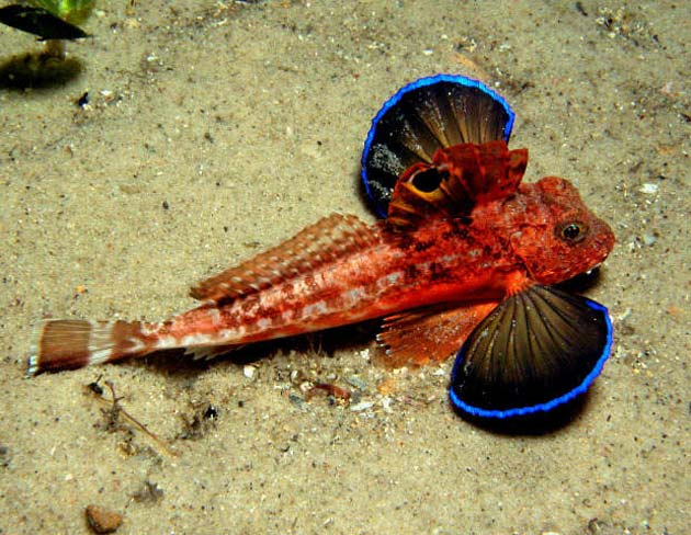 Chelidonichthys-cuculus-5