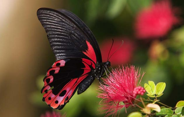 Peru ima preko 3.700 vrsta leptira - više od bilo koje druge zemlje na svijetu. Leptiri u Peruu još nisu detaljno proučeni, a procjenjuje se samo u ovoj državi postoji još najmanje 500 vrsta koje još nisu otkrivene.
