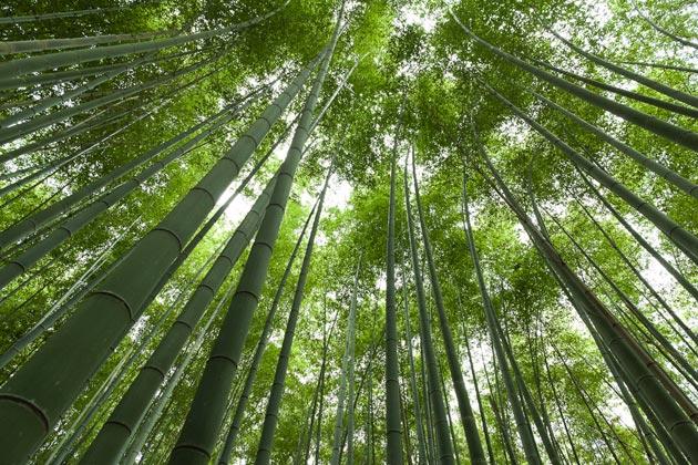 Zanimljivosti iz  geografije - Page 2 Suma-bambusa3