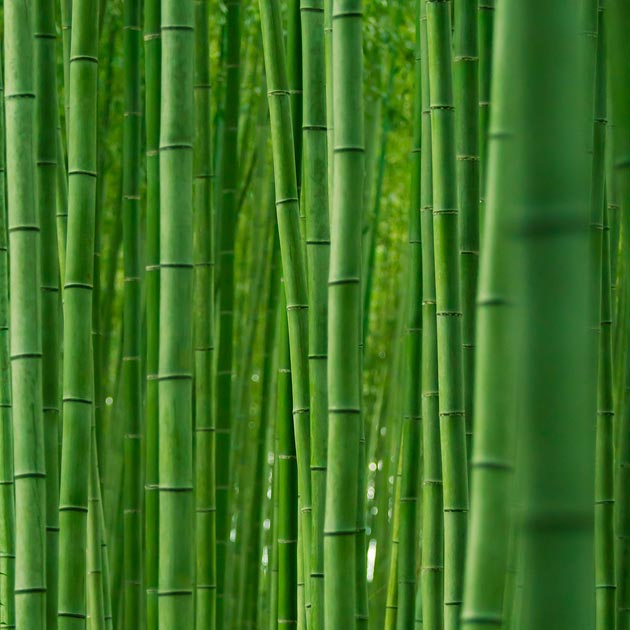 suma-bambusa4