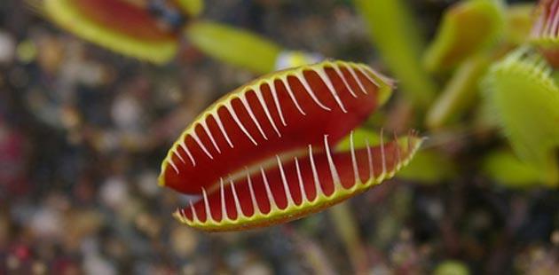 venerina-muholovka