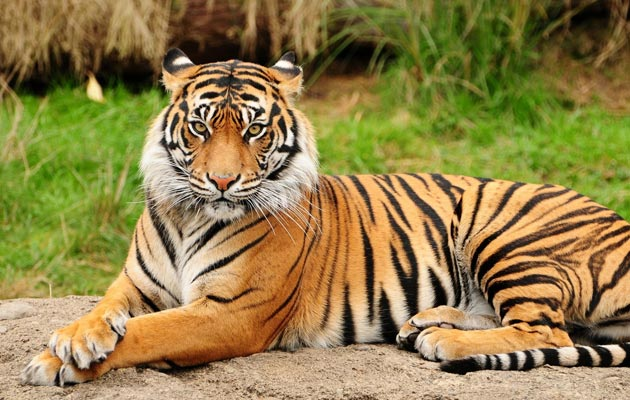 bengalski-tigar