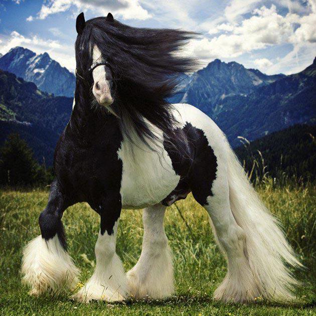 Ciganski-Vanner-Konj1