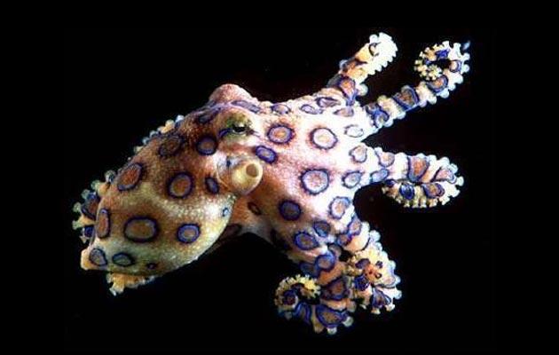 Plavoprstenasta-hobotnica