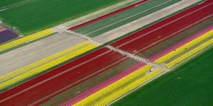 polje-tulipana