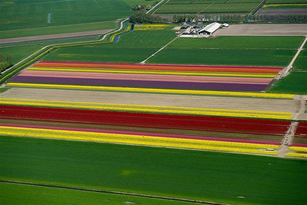 polje-tulipana1