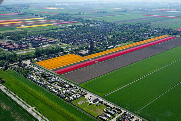 polje-tulipana10