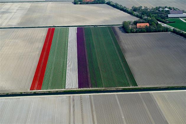 polje-tulipana11