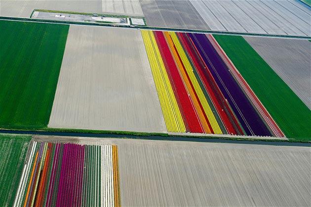 polje-tulipana12