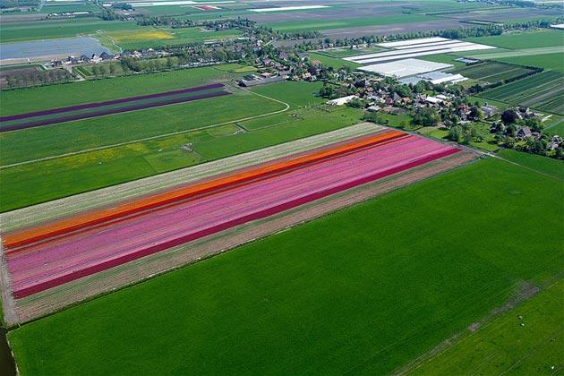 polje-tulipana13