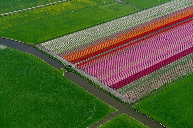 polje-tulipana15