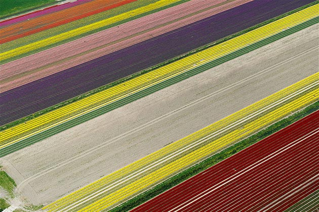 polje-tulipana2