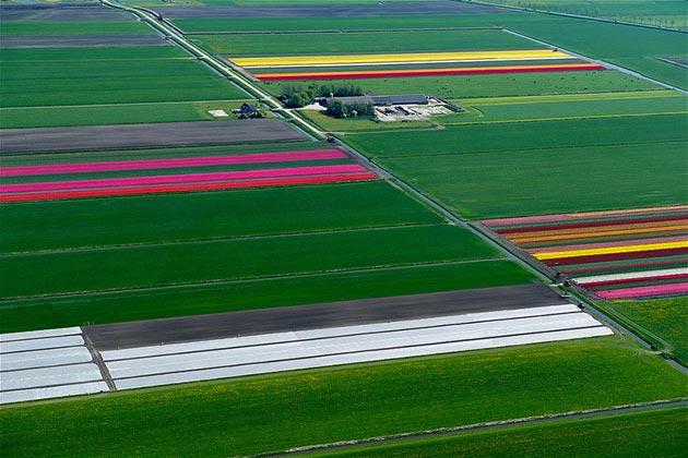 polje-tulipana3