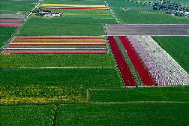 polje-tulipana4