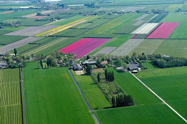 polje-tulipana5