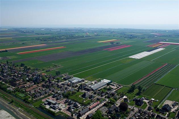 polje-tulipana6