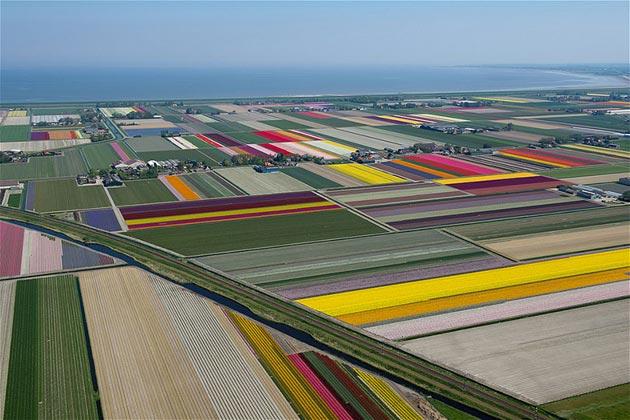 polje-tulipana7