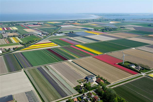 polje-tulipana8