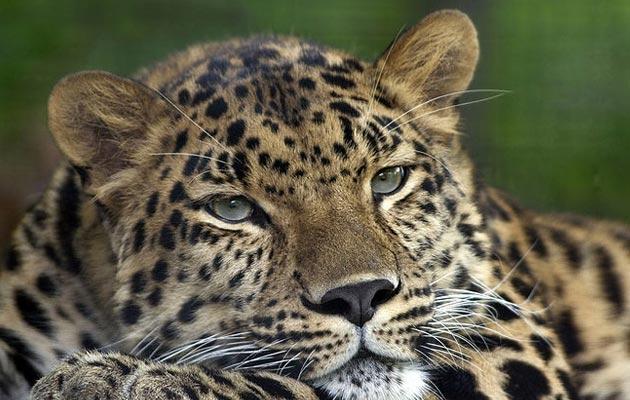 Amurski-leopard