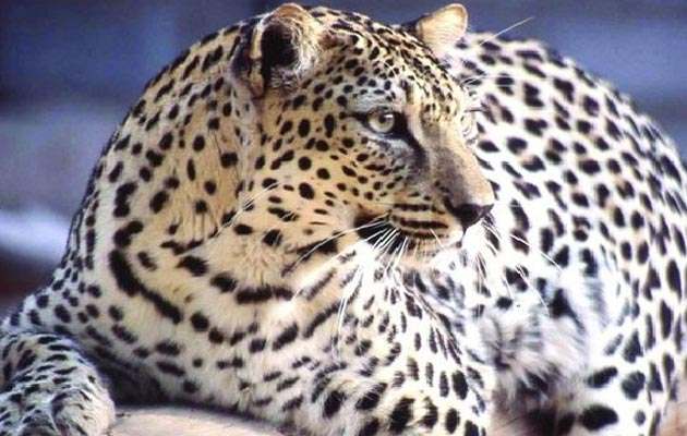Arapski-leopard