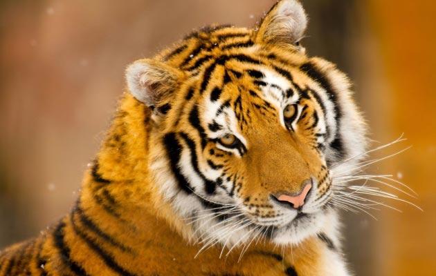 Sibirski-tigar